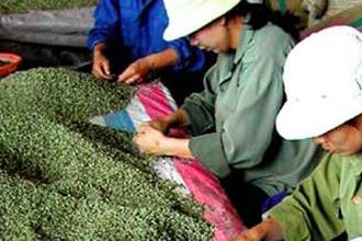Giá cà phê Việt Nam liên tục tăng cùng thị trường cafe thế giới