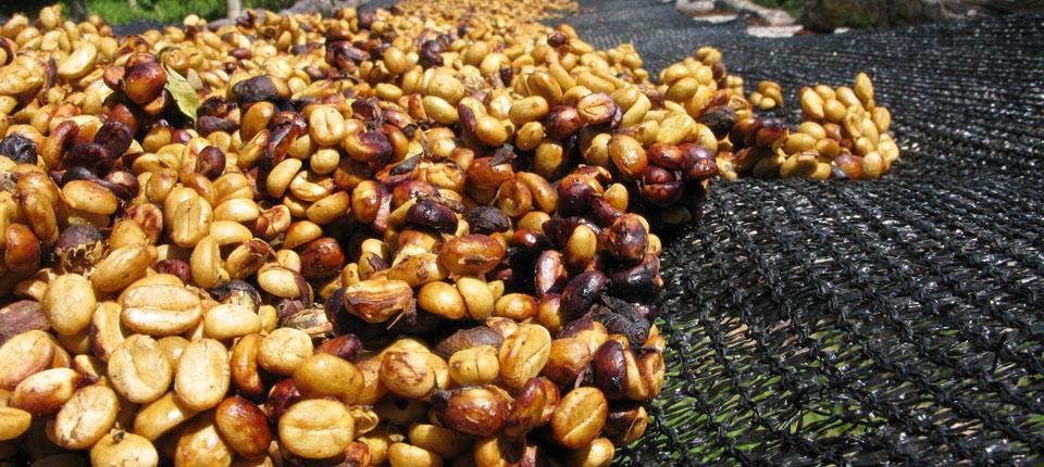 Chế biến cà phê theo phương pháp mật ong. Ảnh 1