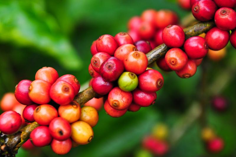 cà phê moka cầu đất 2